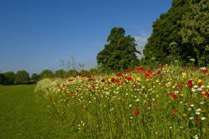 Hintergrundbilder Frühling Kamillen Mohn Natur
