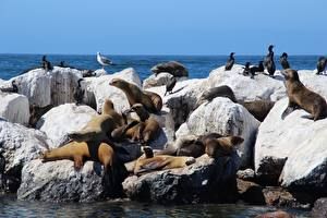 Pictures Stones Birds Seals Sea lion