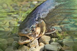 Fotos Steine Hautnah Fische Trout Tiere