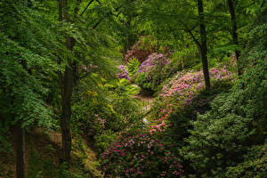 Wallpapers Sweden Parks Rhododendron Shrubs Trees Sofiero castle park