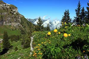 Fonds d'écran Suisse Montagne Renoncule Alpes Picea Nidwalden Nature