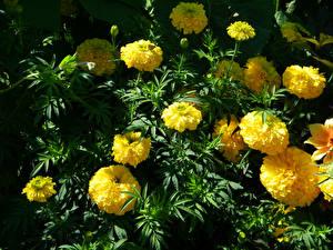 Bilder Tagetes Großansicht Gelb Blumen