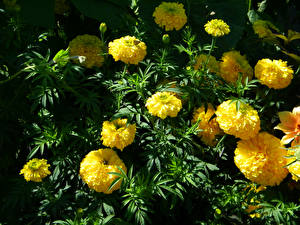 Images Tagetes Closeup Yellow Flowers