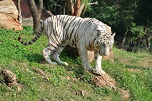 Hintergrundbilder Tiger Gras Weiß White Bengal Tiger