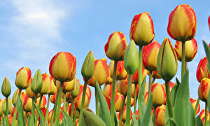Images Tulips Closeup Flowers