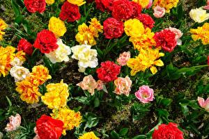 Hintergrundbilder Tulpen Nahaufnahme Mehrfarbige Blumen