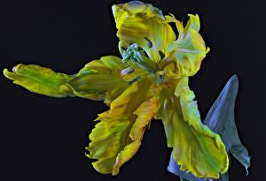 Hintergrundbilder Tulpen Nahaufnahme Schwarzer Hintergrund Parrot Tulip Blüte