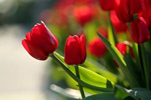 Wallpapers Tulips Closeup Red Flowers