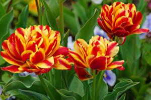 Photo Tulips Closeup Three 3 Flowers