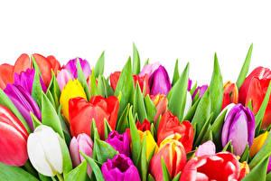 Fotos Tulpen Großansicht Weißer hintergrund Bunte Blumen