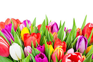 Pictures Tulips Closeup White background Multicolor flower