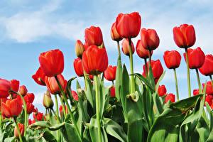 Bilder Tulpen Rot Blumen