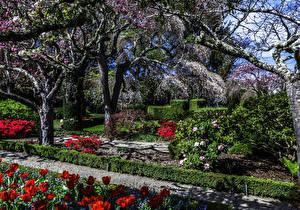 Bilder Vereinigte Staaten Garten Frühling Blühende Bäume Tulpen Kalifornien Filoli Gardens Natur