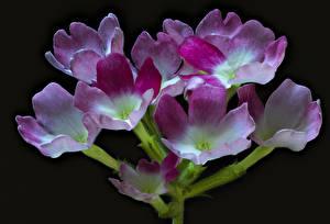 Hintergrundbilder Verbenen Hautnah Schwarzer Hintergrund Blüte