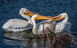 Hintergrundbilder Wasser Vögel Pelikane Drei 3 Schnabel