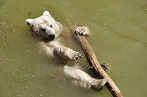 Fotos Wasser Ein Bär Braunbär Pfote Tiere