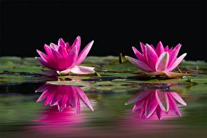 Wallpaper Nymphaea Closeup Two Pink color Reflection Flowers