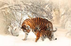 Fotos Winter Tiger Jungtiere Schnee Zwei Tiere