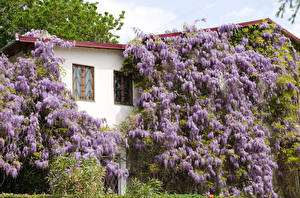 Wallpapers Wisteria Building Flowers