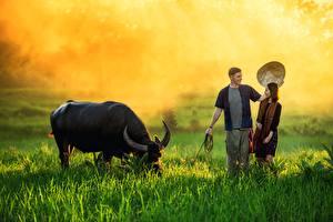 Bilder Asiatische Rinder Mann Gras Nebel Horn Der Hut Mädchens Tiere