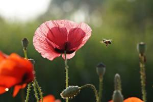 Fondos de Pantalla Abejas Insectos Papaver Rojo Rosa color Flores