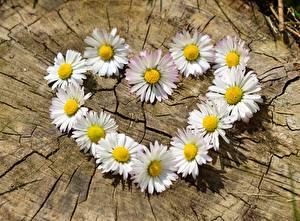 Hintergrundbilder Gänseblümchen Hautnah Herz Weiß Baumstumpf