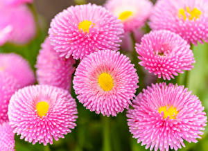 Hintergrundbilder Gänseblümchen Hautnah Rosa Farbe