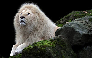 Bilder Große Katze Löwen Weiß ein Tier
