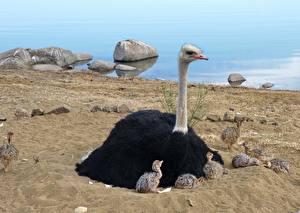 Bilder Vögel Strauß Kücken Sand Sitzt