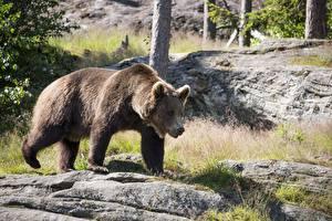 Fotos Ein Bär Braunbär Gras