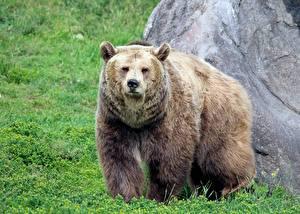 Hintergrundbilder Bären Braunbär Gras Blick