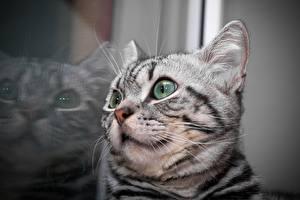 Hintergrundbilder Katzen Nahaufnahme Katzenjunges Spiegelung Spiegelbild Kopf Schnurrhaare Vibrisse Tiere