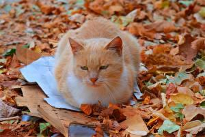 Bilder Katzen Fuchsrot Blatt Tiere