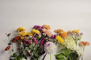 Fotos & Bilder Chrysanthemen Dahlien Grauer Hintergrund Blumen