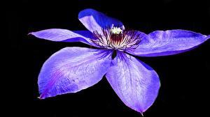 Bilder Waldreben Hautnah Schwarzer Hintergrund Blütenblätter Blau Violett Blumen