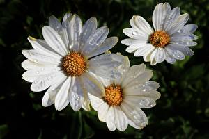 Pictures Closeup Camomiles White Drops Flowers