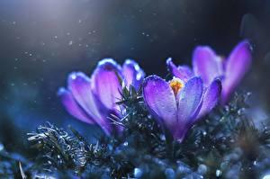 Bilder Nahaufnahme Krokusse Violett Blüte