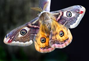 Pictures Closeup Insects Moth, Lepidoptera Animals