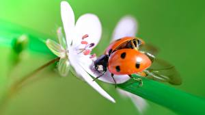 Pictures Closeup Coccinellidae animal