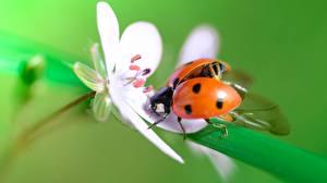 Pictures Closeup Coccinellidae animal