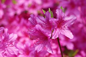 Fotos Hautnah Rosa Farbe Rhododendron (Azalea) Blüte