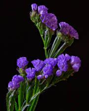 Bilder Großansicht Schwarzer Hintergrund Violett Wavyleaf sea lavender Limonium sinuatum Blumen