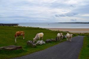 Fotos Küste Wege Steine Kuh Grünland Gras ein Tier