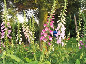 Hintergrundbilder Fingerhüte Nahaufnahme Blumen