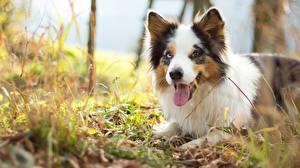 Hintergrundbilder Hund Australian Shepherd Zunge Starren Tiere