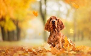 Fotos Hunde Herbst Blatt Spaniel English Cocker Spaniel Tiere