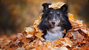 Bilder Hunde Herbst Blatt Sheltie Shetland Sheepdog Blick Tiere