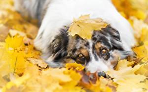 Pictures Dog Autumn Staring Aussie dog Maple Leaf
