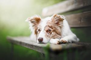 Fotos Hunde Bank (Möbel) Australian Shepherd Liegt Tiere