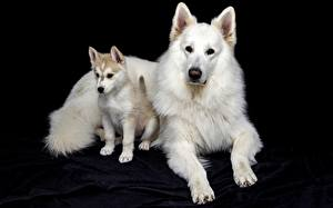 Picture Dogs Black background White Puppy Paws Shepherd Berger Blanc Suisse Animals